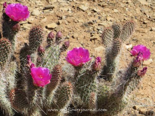Utah Prickly Pear Cactus-My Flower Journal.com
