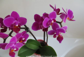 My Miniature Orchid
