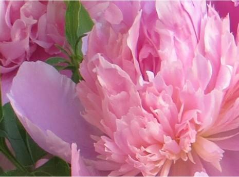 Peonies- A Utah Garden Traditon.-myflowerjournal.com
