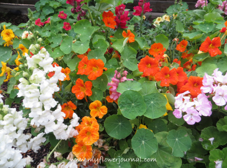 My Top 5 reasons and tips for growing nasturtiuns in your garden-myflowerjournal (1)