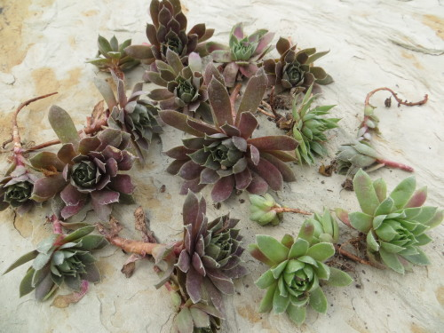 Sempervivum chicks pulled from the mother plant waiting to be planted-myflowerjournal.com