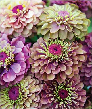 Zinnia Queen Red Lime from Burpee Seed shared on myflowerjournal.com