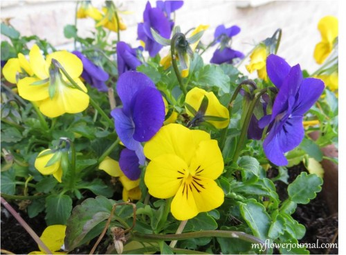 A Tribute To Pretty Pansies in my Garden-myflowerjournal