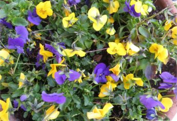 Pansies In My Garden