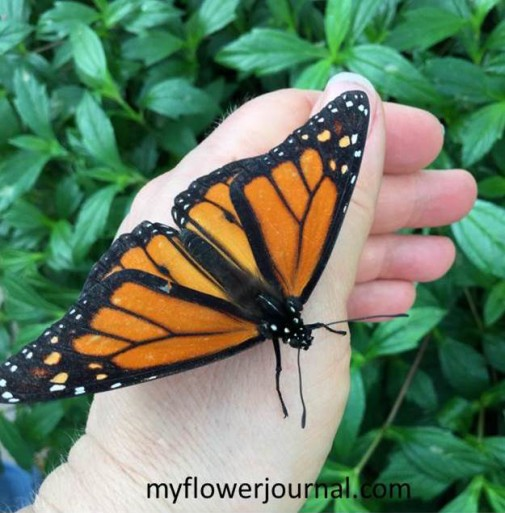 Be prepared for butterflies to land on you when you visit Butterfly Wonderland-myflowerjournal