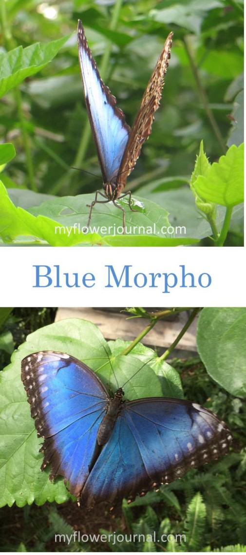 Blue Morpho Butterfly from Butterfly Wonderland-myflowerjournal