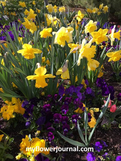 Inspiration photo taken at the gardens at Temple Square in Salt Lake City for Daffodil Splattered Paint Flower Art from myflowerjournal