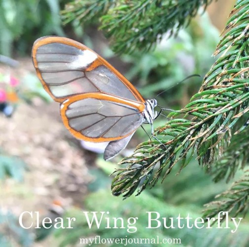 Look closely to find the little Clear Wing butterfly at Butterfly Wonderland-myflowerjournal