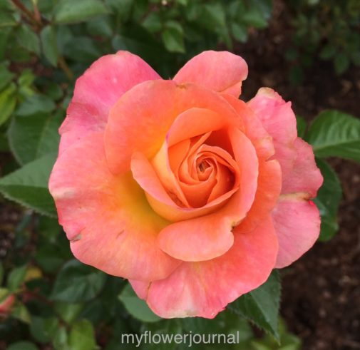 This close up of rose is one of many flower photos I have taken while traveling to use as inspiration for watercolor flowers added to splattered paint-myflowerjournal.com
